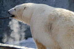 Portrait of large white bear on ice Royalty Free Stock Images