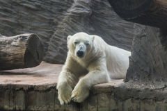 White polar bear in a zoo. Portrait of large white bear in the zoo royalty free stock photography