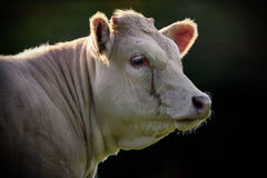 Portrait of Large White Cow