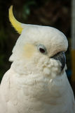 Portrait of a large white parrot with yellow tufted, Koh Samui, Royalty Free Stock Photo