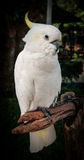 Portrait of a large white parrot with yellow tufted, Koh Samui, Royalty Free Stock Photos
