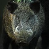 Portrait of large wild boar Royalty Free Stock Photos