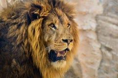 Portrait latéral du lion masculin avec une pleine crinière Image libre de droits