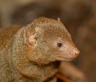 Portrait de mangouste jaune Photographie stock libre de droits