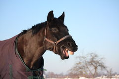 Portrait of laughing black horse Royalty Free Stock Image