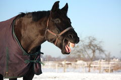 Portrait of laughing black horse Royalty Free Stock Photography