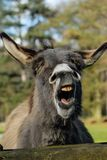 Portrait of a laughing donkey with closed eyes royalty free stock image