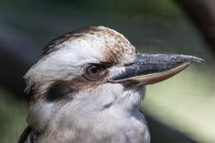 Portrait of a laughing kookaburra - dacelo novaeguineae stock photography