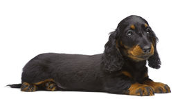 Portrait of laying puppy of Dachshund Stock Photo