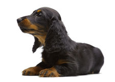 Portrait of laying puppy of Dachshund Stock Photos