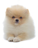 Portrait of laying puppy of pomeranian spitz Royalty Free Stock Images