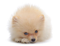 Portrait of laying puppy of pomeranian spitz Royalty Free Stock Photos