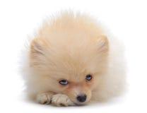Portrait of laying puppy of pomeranian spitz Royalty Free Stock Photos