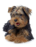 Portrait of laying puppy of yorkshire terrier Stock Photo