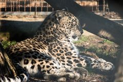 Portrait of lazy lying persian leopard in sunlight Stock Images