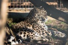 Portrait of lazy lying persian leopard in sunlight Stock Photo