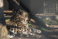 Portrait of lazy lying persian leopard in sunlight Royalty Free Stock Images