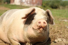 Portrait of lazy sow Royalty Free Stock Photos