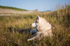 Portrait of lbeautiful and free siberian husky dog with brown eyes lying in the field near the sea at golden sunset. Profile Portrait of lovely beige and white royalty free stock image