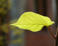 Portrait of a leaf Stock Photography