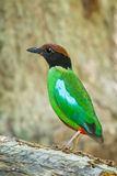 Portrait of left side of Hooded Pitta (Pitta sordida) Stock Photos