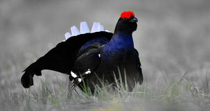 Portrait of a lekking black grouse Royalty Free Stock Images