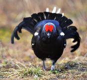 Portrait of a lekking black grouse Stock Images