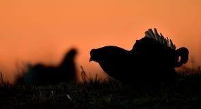 Portrait of a lekking black grouse (Tetrao tetrix) Royalty Free Stock Photography