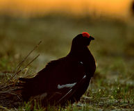 Portrait of a lekking black grouse (Tetrao tetrix) Royalty Free Stock Photo