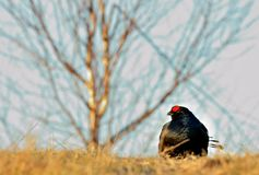 Portrait of a lekking black grouse (Tetrao tetrix) Royalty Free Stock Photography