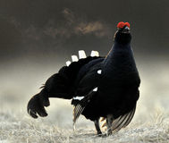 Portrait of a lekking black grouse (Tetrao tetrix) with steam breath. Royalty Free Stock Images