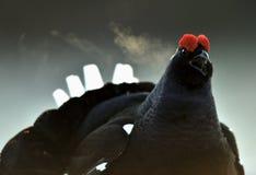 Portrait of a lekking black grouse (Tetrao tetrix) with steam breath. Stock Photos