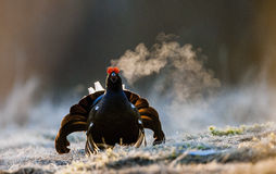 Portrait of a lekking black grouse (Tetrao tetrix) with steam breath. Stock Photos