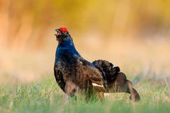 Portrait of a lekking black grouse (Tetrao tetrix) Sunrise . Early morning. Forest. Royalty Free Stock Photography