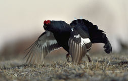 Portrait of a lekking black grouses (Tetrao tetrix) Stock Image