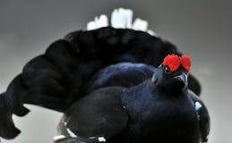 Portrait of a lekking black grouses (Tetrao tetrix) Stock Photos