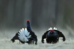 Portrait of a lekking black grouses (Tetrao tetrix) Stock Photography