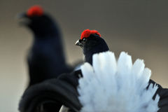 Portrait of a lekking black grouses (Tetrao tetrix) Royalty Free Stock Images