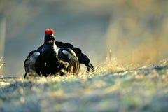 Portrait of a lekking black grouses (Tetrao tetrix). Stock Image