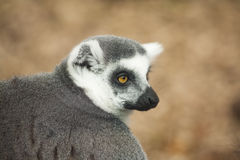 Portrait of lemur Stock Photography