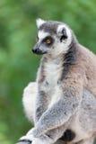 Portrait of a lemur Stock Photography