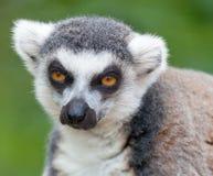 Portrait of a lemur Stock Images