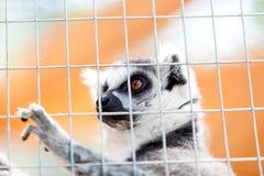 Portrait of a lemur behind bars, locked up Stock Photos