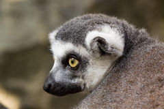 Portrait of a lemur Royalty Free Stock Images