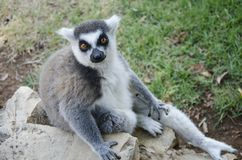 Portrait of lemur catta Stock Photo