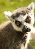 Portrait of a lemur Royalty Free Stock Photography