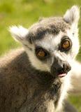 Portrait of a lemur Royalty Free Stock Photography