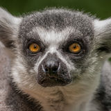 Portrait of a Lemur at closeup Royalty Free Stock Photography
