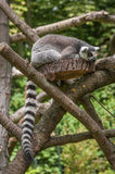 Portrait of a Lemur at closeup Stock Image