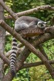 Portrait of a Lemur at closeup Stock Image